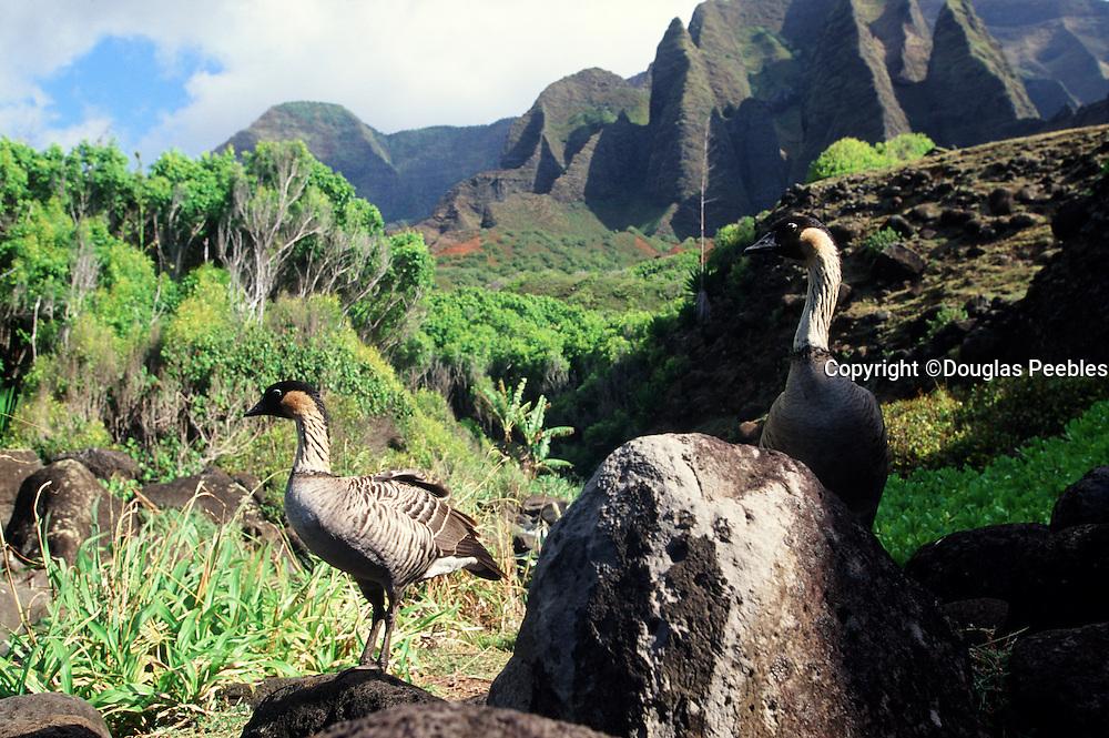 Nene Geese, Napali Coast, Kauai, Hawaii