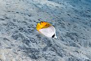 Vagabond butterflyfish-Poisson-papillon vagabond (Chaetodon vagabundus), Nusa Penida island, Bali, Indonesia.
