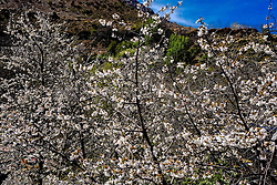 Spring blossom in the Ourika Valley, Morocco, North Africa<br /> <br /> (c) Andrew Wilson | Edinburgh Elite media