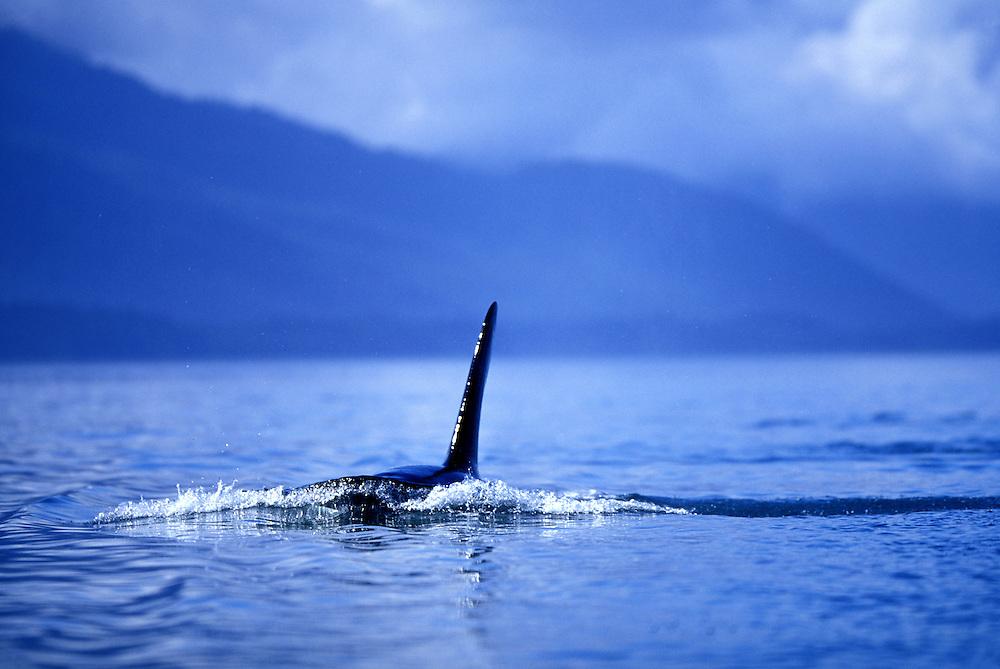 USA, Alaska, Tongass National Park, pod of Orca Whales (Orcinus orca) swim through Icy Strait near Chichagof Island