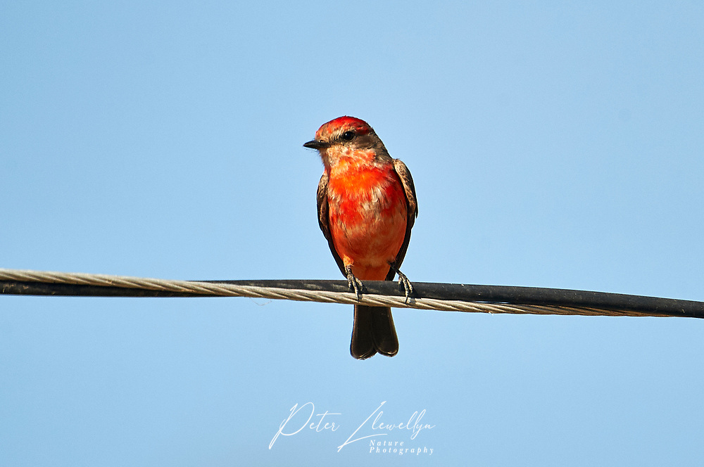 Vermillion Flycatcher (Pyrocephalus rubinus) peched on a wire, Ajijic, Jalisco, Mexico
