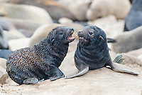 Cape Fur Seal pups play fighting, Namaqua National Park, Northern Cape, South Africa,