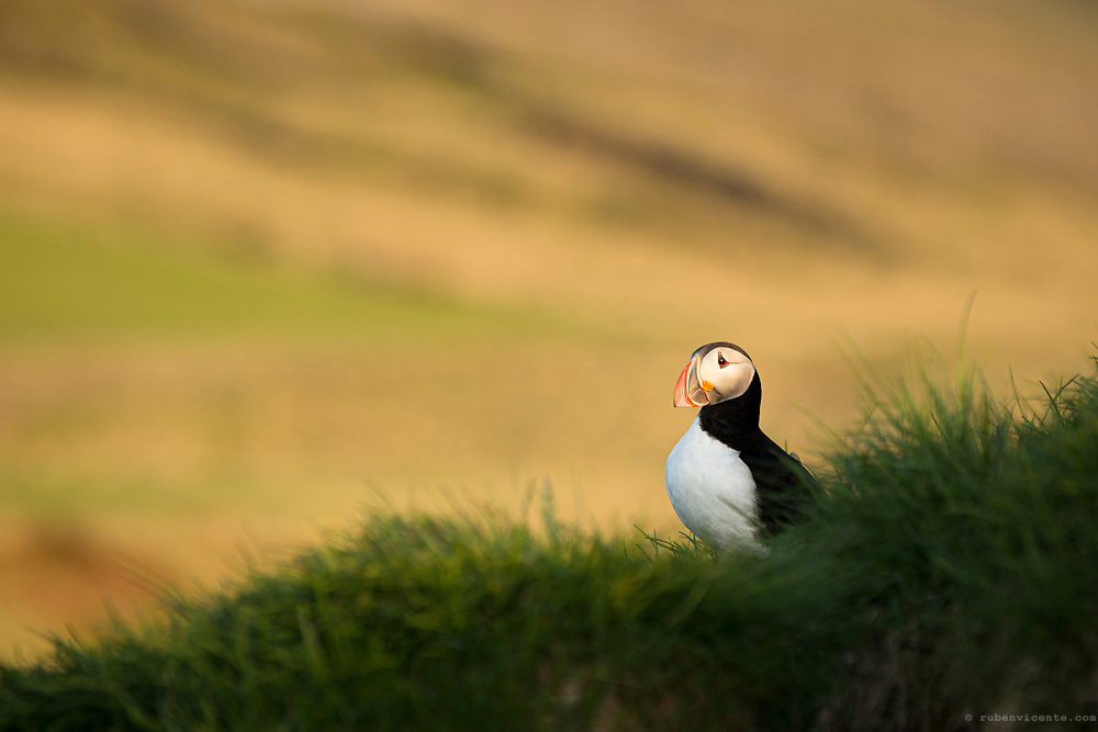 Atlantic Puffin between the grass. Iceland