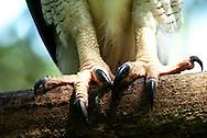 Aguila Harpía es el Ave Nacional de Panamá y la especie símbolo de la diversidad biológica de Ecuador. Es el Aguila más grandes y la rapaz más poderosa del mundo.<br /> Habitad de estas aves:  Bosque húmedo tropical, Bosque muy húmedo tropical y Bosque muy húmedo premontano .  <br /> Estado Actual Especie en Peligro de Extinción.<br /> Su estado se debe ha la destrucción de su hábitat y la cacería (incluye las de sus presas).  <br /> ©Alejandro Balaguer/ Fundacion Albatros Media