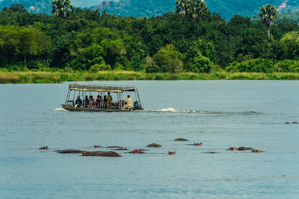 Hippos in the Nile River, Murchison Falls National Park, Uganda.