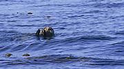 Otter, Sitka, Alaska, USA