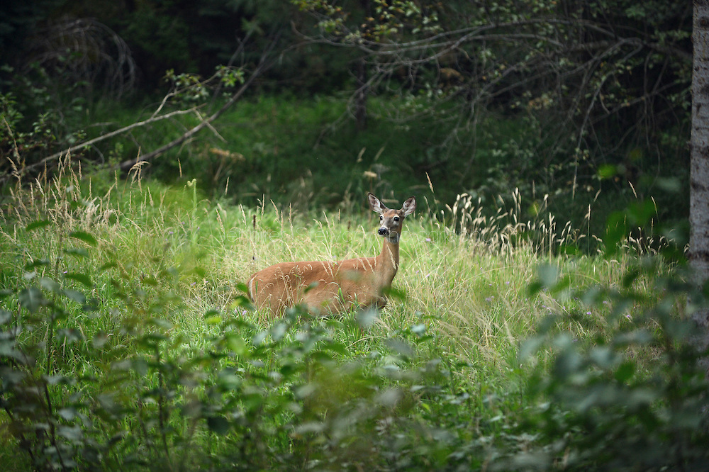 August 13, 2013; Victor, MT, USA; A young deer stands in the forest of Victor, Montana. Mandatory Credit: Jennifer Stewart