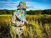 08 NOVEMBER 2017 - NA HIN LOT, NAKHON NAYOK, THAILAND: A woman harvests green rice by hand during the 2017 rice harvest in Nakhon Nayok province, about two hours north of Bangkok. Green rice is usually grown in small paddies and consumed locally, while regular white rice is sold commercially.  Thailand is the second leading rice exporter in the world and 16 million Thais work in the rice industry.     PHOTO BY JACK KURTZ