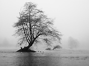 Cottonwood tree and winter fog on the Willamette River, from the Ruth Bascom Riverbank Path in towntown Eugene, Oregon, USA.