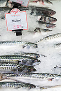 Fresh Mackerel, Scomber scombrus, on sale at St Helier Fish Market in Jersey, Channel Isles