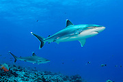 Silvertip Shark, Carcharhinus albimarginatus, swims along Avatoru Pass in Rangiroa, French Polynesia