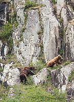 Alaska brown bears, Ursus arctos horribilis, on a cliffside in Geographic Harbor, Katmai National Park, Alaska.