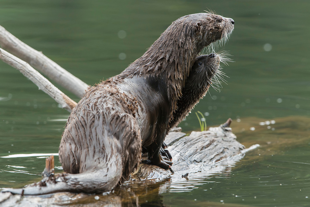 A northern river otter (Lontra canadensis)  mother with her pup, Northern Rockies
