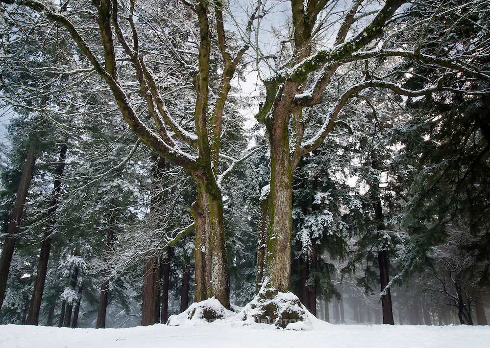 Entitled: Split Personality.  Double tree and snow in Mount Tabor Park, Portland, Oregon, USA. In 1903, John Charles Olmsted of the Massachusetts-based landscape design firm Olmsted Brothers recommended that a city park be developed at Mount Tabor.  Portland Parks Superintendent Emanuel T. Mische, who had worked at Olmsted Brothers, consulted with Olmsted on the park layout and integration of the reservoirs into the park design.
