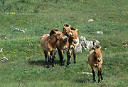 Breeding herd of Przewalski (Equus caballus przewalskii) horses in Cervennes region of France before shipping back to Mongolia