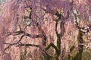 Cherry Blossoms Fine Art Gallery 2018