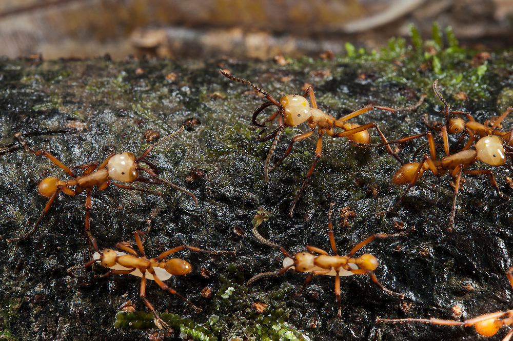 Army Ants carrying lavae (eciton sp)<br /> Yasuni National Park, Amazon Rainforest<br /> ECUADOR. South America