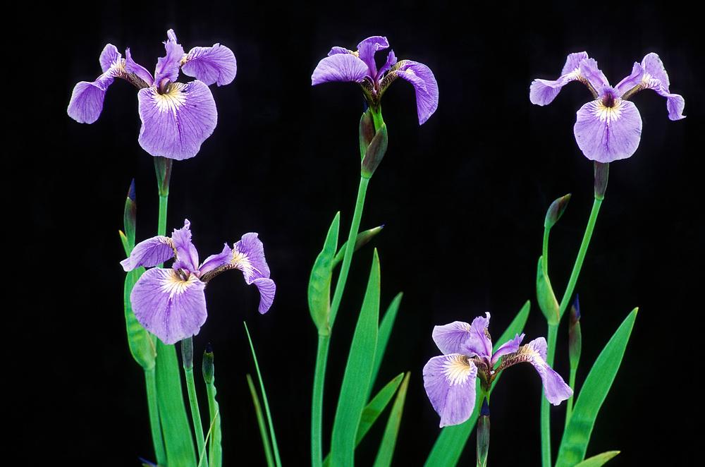 Wild iris (Iris setosa) growing on Eklutna Flats