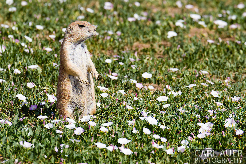 Prairie Dogs sun themselves around Standley Lake