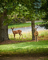 "Buck and Doe ""Why did you Mow the Grass???"" . Image taken with a Nikon 1 V3 camera and 70-300 mm VR lens"