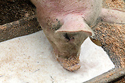 pig drinking whey at a bio free-range animal farm
