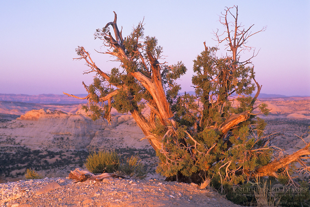 Tree at sunrise over the Grand Staircase Escalante Nat'l. Mon. SR 12 Scenic Byway, UTAH
