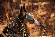 A female Australian Cattle Dog, or Queensland Blue Heeler, on the Arizona National Scenic Trail at Gardner Canyon, Coronado National Forest, Sonoran Desert, Sonoita, Arizona, USA.  The female dog is hearing imapired.