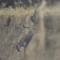 Kenya, Masai Mara Game Reserve,  Wildebeest (Connochaetes taurinus) leap from steep cliff at Mara River in migration