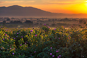 Awesome rose field at sunrise located in Valley of Roses, Bulgaria