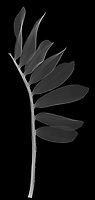 X-ray image of a dried zuzu plant stalk (Zamioculcas zamiifolia, white on black) by Jim Wehtje, specialist in x-ray art and design images.