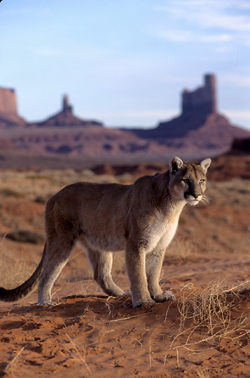 Mountain Lion or Cougar, (Felis concolor) Monument Valley in northern Arizona.  Captive Animal.
