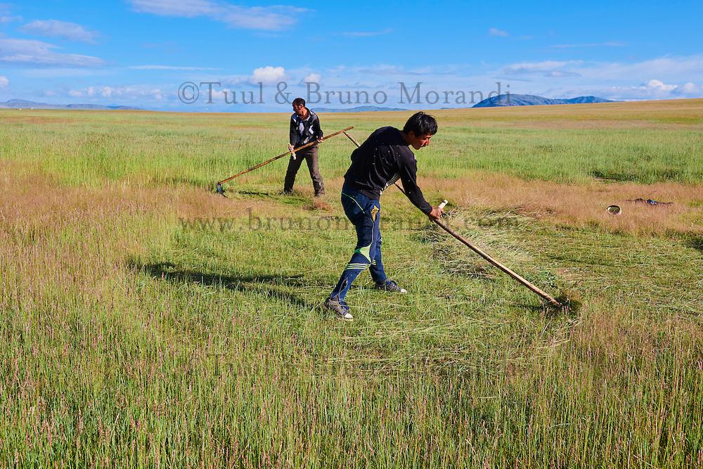 Mongolie, province de Bayan-Ulgii, Parc national de Tavan Bogd, les plus hauts sommets de la chaine de montagne Altai Mongol, lacs de Dayan Nuur, fauchage // Mongolia, Bayan-Ulgii province, western Mongolia, National parc of Tavan Bogd, the 5 highest summit of the Altay mountains, Dayan Nuur lake, reaping
