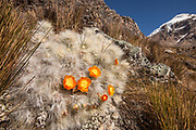 Huacaro cactus in flower, Cerro Cuyoc behind, Cordillera Huayhuash, Andes mountains, northern Peru