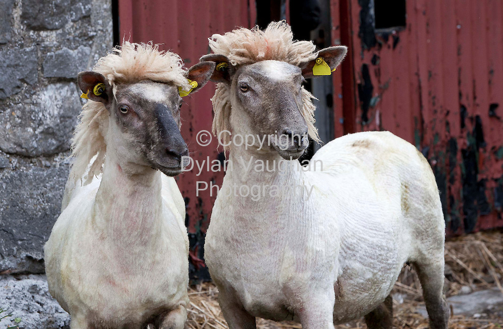 13/5/2011.The sheer level of support for Jedward ahead of tonight's Eurovision final is seen as twin sheep get the distinctive Jewdard hairstyle ahead of the 2011 Sheep & Wool Festival in Kilkenny's Cillin Hill on June 4&5. The family-focused festival will feature live music, craft and food displays, strongman competitions, a funfair, children's entertainment and much more. Further details on www.sheepshearing2011.ie..Picture Dylan Vaughan.. .PHOTOCAPTION                                                                                  13th May 2011. .TWO CITIES; ONE DAY; ONE BAND; ONE LIVE MUSIC TRAIL.Bulmers Live Music Trail launched for Tall Ships Races. .Bulmers is helping to bring free music to Waterford and today announced its latest foray into the live music arena with the launch of The Bulmers Live Music Trail, which will see bands perform, free of charge on the main Live stages, and also in pubs all over Waterford city, during The Tall Ships Races 2011 (30th June - 3rd July)..Pictured at the launch at Geoffs Cafe Bar in Waterford .is .2011 Choice Music Prize nominees and Waterford's very own O Emperor, who will be headlining at The Tall Ships Races Festival, performed two sneak preview gigs for fans in Dublin and Waterford this week as part of the launch of The Bulmers Live Music Trail...O Emperor will perform along with Bryan Ferry, The Waterboys and Sharon Shannon with guests Damien Dempsey and Dessie O'Halloran on the main Live stages at The Tall Ships Races Waterford, There will also be a host of live pub entertainment on offer on the Bulmers Live Music Trail.. .A Bulmers Live Music Trail Map has been developed to guide visitors on the live music journey and will be available in hard copy, in the official Tall Ships Races Waterford souvenir brochure and on www.bulmers.ie or www.waterfordtallshipsrace.ie...//ENDS. .For further information please contact Rachel Sherry or Alan Duncan of Grayling on 01 669 4900 / 087 6622111.