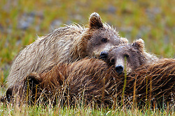 Pair of North American brown bear / coastal grizzly bear (Ursus arctos horribilis) cubs rest on a sow after nursing in a field, Lake Clark National Park, Alaska, United States of America