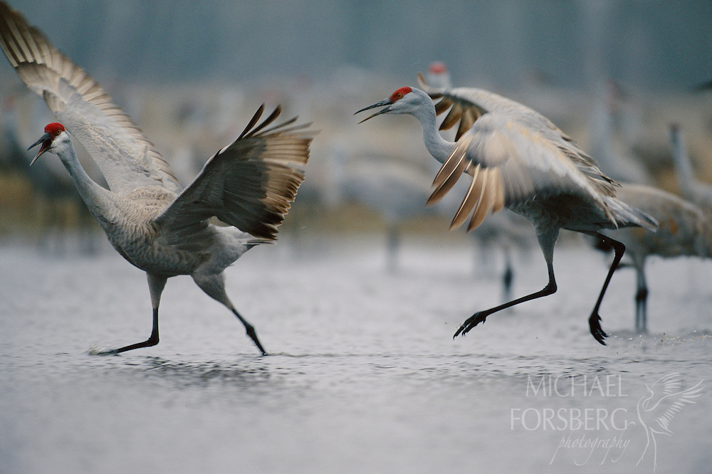During an ancient courtship ritual, two sandhill cranes pursue each other across a secluded wet meadow slough near the Platte River in central Nebraska. Sandhill cranes mate for life and can live more than 25 years in the wild. Cranes are considered among the most intelligent of all bird species and have long been revered as symbols of life, longevity, good fortune and happiness by indigenous cultures whose habitats they share the world over. Platte River Valley, Nebraska