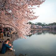 Hundreds of thousands of tourists converge on Washington DC's Tidal Basin each spring for the annual blooming of the Yoshino cherry blossoms. The oldest of the trees were planted as a gift from Japan in 1912.