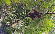 Big, male orangutan resting in the canopy of the raiforest in Danum Valley, Sabah, Borneo.