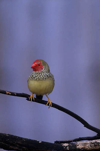 Star Finch, (Neochimia ruf icauda) Eastern Australia.