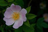 Carolina Rose blossom in upstate NY.