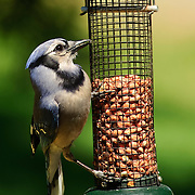 Blue Jay eating at peanut feeder
