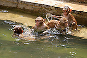 Macaques monkey beat the heat