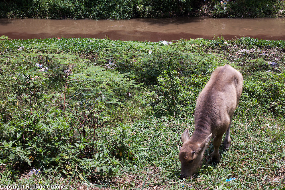A calf grazes on the banks of the Citarum river in Majalaya district, Bandung regency, Indonesia. The stream is colored with toxic waste dumped by a nearby textile factory. ..The Citarum river, which runs about 270 kilometers through the province of West Java, is considered to be among the world's dirtiest. Over the last twenty years, the river has been severely polluted by toxic industrial waste, trash and raw sewage. The Citarum is one of the main sources of freshwater for West Java and supplies about 80% of water for Indonesia's capital Jakarta.
