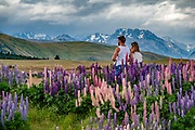 Nonnative Russell lupin flowers explode in color along Fairlie-Tekapo Road in early January 2019, in Canterbury region, South Island of New Zealand. The plant's diaspora began with David Douglas bringing the herbaceous lupine (Lupinus polyphyllus) from North America to Britain in the 1820s. In the early 1900s, George Russell, a horticulturist from York, UK, spent two decades breeding the Russell hybrids (Lupinus X russellii hort). First naturalized to New Zealand by local farmers wanting to beautify their landscape in the 1950s, Russell lupins have invaded large areas of roadsides, pastures, and riverbeds. This alien plant most threatens indigenous species in the braided river beds of Canterbury region. Russell lupin is classed as an invasive species in New Zealand, Sweden, Norway, Switzerland, Argentina, the Czech Republic, Finland, Lithuania, and Ukraine. To license this Copyright photo, please inquire at PhotoSeek.com .