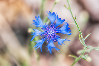 The intensely and wildly vibrant blue cornflower is found throughout most of North America, but is actually native to Europe, and is only naturalized here. Oddly enough, it is becoming rare and has disappeared completely from many places where it once flourished in the Old World. This one was photographed next to the Columbia River on the Washington side of the Columbia River Gorge.