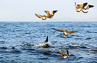 Great white shark hunting cape fur seals in False Bay, as black back gulls hover overhead looking for scraps