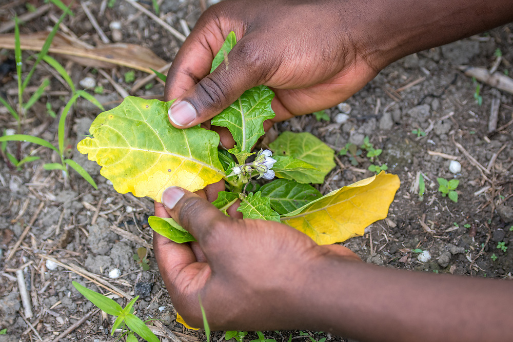 Inspecting leaf yellowing on a vegetable plant in Ganta, Liberia