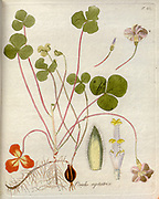 Woodsorrel (Oxalis reptatrix). Illustration from 'Oxalis Monographia iconibus illustrata' by Nikolaus Joseph Jacquin (1797-1798). published 1794