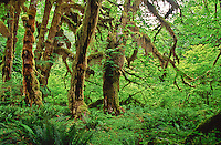 These Bigleaf Maple trees (Acer macrophyllum) are covered with mosses and lichens.  Found along the Hall of Mosses Trail, Olympic National Park, Washington.