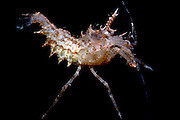 UNDERWATER MARINE LIFE EAST PACIFIC: Northeast SHRIMP: Spiny shrimp Paracrangon species